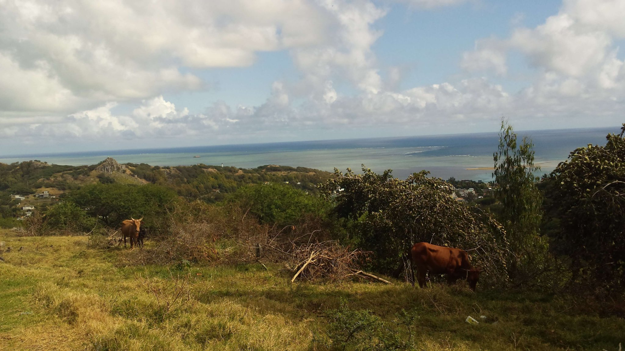 Remote-Islands-Indian-Ocean-Rodrigues-cattle